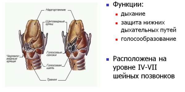 Что делает орган