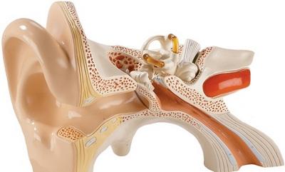 Короткий и широкий слуховой проход