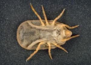 Аргасовый паразит
