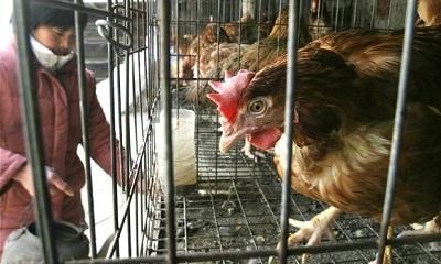 chicken-china_2265609b