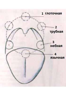 Расположение органов в горле