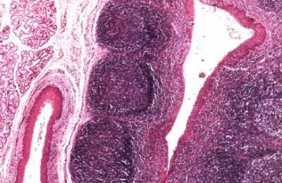 Строение тканей органа