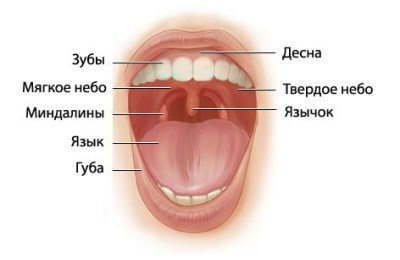 Все про орган в горле